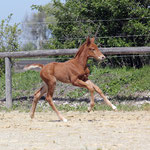 chestnut filly 2017 by Escolar