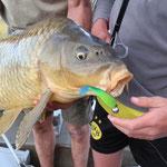 Tobis 16 kg Tier gefangen mit Gummifisch im EBRO Spanien  April 2014