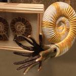 Ammonit Nautilus - * De Oude Aarde*