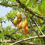 papaya de monte (Carica cauliflora)