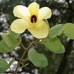 Bauhinia amarilla o Árbol de Santo Tomás (Bauhinia tomentosa)