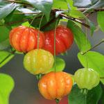 pitanga o cereza del brasil ( Eugenia uniflora )