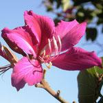 árbol orquídeo de Hawaii (bauhinia blakeana)