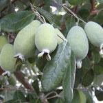 guayabo de piña feijoa (Acca sellowiana)