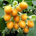 Pequeño Árbol de Tomate (Cyphomandra abutiloides)