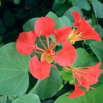 bauhinia roja (Bauhinia punctata)