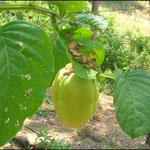 badea  (Passiflora quadrangularis)