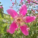 palo borracho (chorisia speciosa)