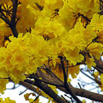 Árbol Trompeta de Oro ( Tabebuia chrysotricha )