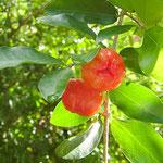 acerola (Malpighia emarginata)