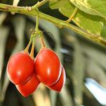 Tamarillo - Árbol tomate (Cyphomandra betacea)