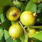 Amarillas guayaba (Psidium cattleianum)