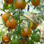 GUAMACHO (Pereskia aculeata)