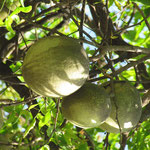menbrillo de bengala bael  ( Egle marmelos )