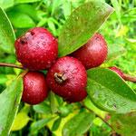 Rojo guayaba (Psidium cattleianum)