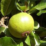 lúcumo (Pouteria lucuma)