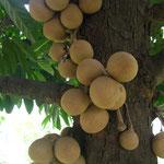 Burahol, Stelechocarpus