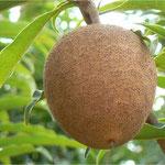 Chicozapote (Manilkara achras)