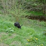 Kleiner schwarzer Löwe Linni
