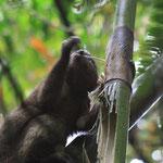 Grauer Bambuslemur