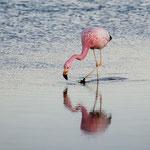 Flamingo - Lago Chaxa