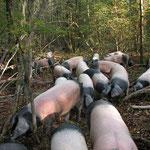 Nicht nur Grünland sondern auch Wald wurde als Weidefläche für das Vieh genutzt. Eicheln und Bucheckern, junge Triebe und Gras, das in den lichten Wäldern wuchs, lieferten den eingetriebenen Tieren Nahrung.