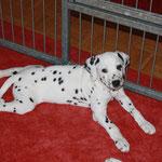 Gretchen beherrscht hervorragend die Dalmatinerfroschstellung