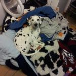 wir sind wieder zurück und ich helfe Frauchen mit der schmutzigen Wäsche
