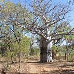 El Questro - Boab Tree