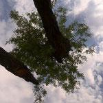 変な木を下から見る(イーストモヘンボ村)