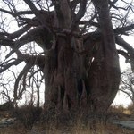 バオバブ(Planet Baobab)