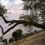 変な木(イーストモヘンボ村)