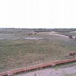 列をなしてあるく牛たち(イーストモヘンボ村)