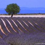 Lavendelfelder Provence