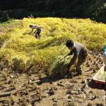 地域住民の方々との稲刈り作業風景