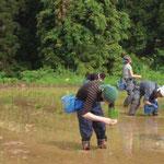 地域住民の方々との田植え作業風景