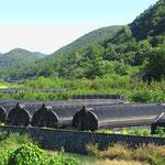 In diesen Tunnelzelten werden Baumpilze, wie z.B. der Shiitake, gezüchtet.