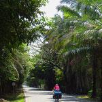 Oelpalmen-Plantagen entlang der Strasse spenden etwas Schatten.