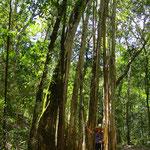 Der Würgfeigenbaum bildet oft bizarre Geflechte.