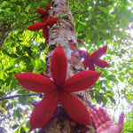 Baum und Früchte aus der Familie der Kakaogewächse.