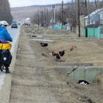 Hühner, Gänse und Enten lassen sich beim Fressen an der Strasse nicht stören.