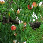 Die reifenden Pfirsiche werden mit Papier umhüllt.
