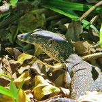 Leguane fressen mit Vorliebe Schildkröteneier und Jungtiere.