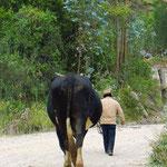 Manche Ochsen, die die Bauern für die Feldarbeit brauchen, sind riesig.