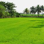 Das filigrane Grün der Reispflanzen begeistert uns immer wieder.