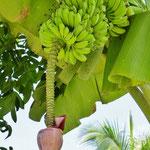 Bananenstauden haben hier alle Bewohner im Garten.
