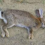 In Neuseeland gibt es sehr viele Kaninchen. Jeden Tag sehen wir Dutzende in den Baus verschwinden. Dieses liegt tot am Wegrand.