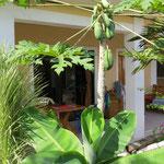 Papayas wachsen direkt vor unserem kleinen Hüsli.
