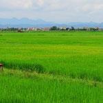 Reis, Reis, Reis . . . die Felder sind riesig.