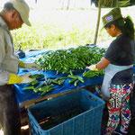 Hier werden Okra für den weltweiten Export geerntet. Man kennt das Gemüse bei uns in Europa vor allem aus der indischen Küche.